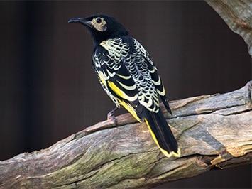 Rutherglen, Bird Watching